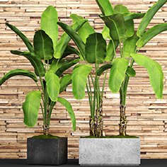 Plant banana black pot